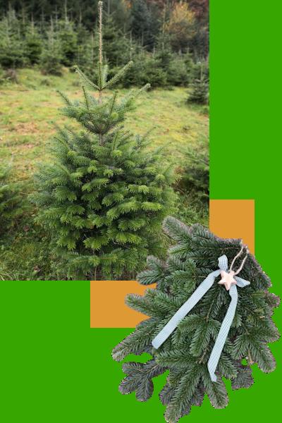 Nordmanntanne Baum und Äste